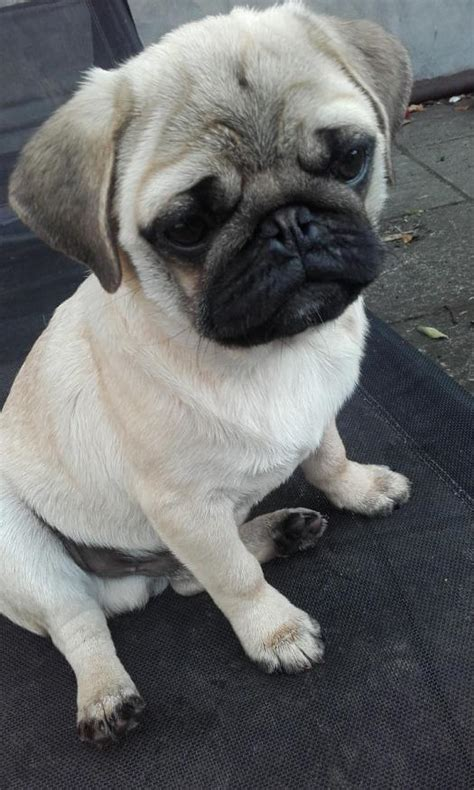pug puppies for sale dublin pug for sale in dublin 650 dogs ie