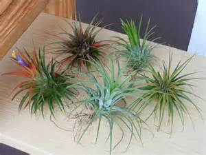 Air Plant Care Air Plant Variety Pack 5 Assorted Ionantha By Thelivingart