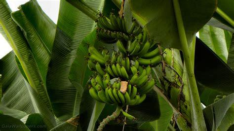 Banana Tree Wallpaper Download | green bananas in a banana tree wallpapers 1920x1080 free