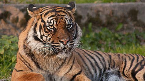 minicuentos de tigres y pourquoi les tigres sont ils ray 233 s 199 a m int 233 resse