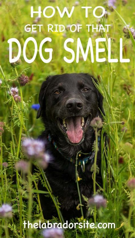 Understanding Dog Smell How To Get Rid Of Dog Smell From Your Home