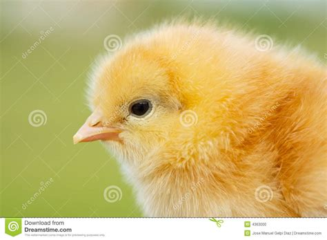 small chicken small chicken stock photo image of baby green young