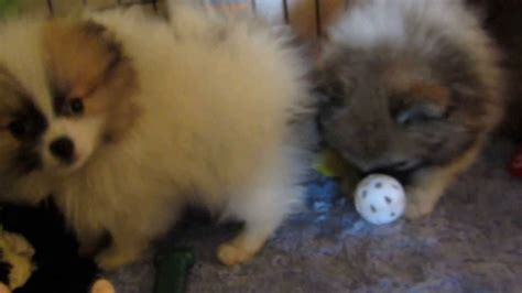 california pomeranian teacup puppy for sale in riverside breeds picture
