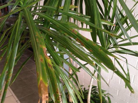 common house plants problems dracaena problem