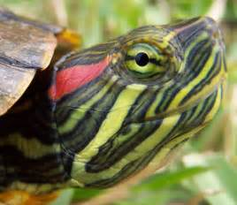 red eared turtle red eared slider pet turtles