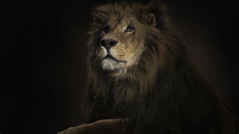 wallpaper hd 1920x1080 lion dark lion wallpaper hd wallpaper wallpaperlepi