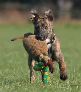 Pets are good hunting dogs dog breeds picture