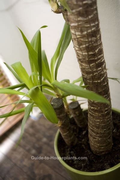 yucca elephantipes yucca plant care tips picture
