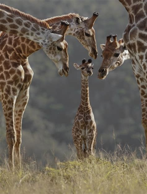 giraffe family pictures photos and images for