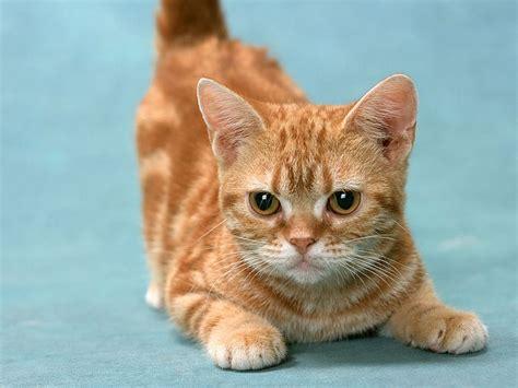 wallpaper yellow cat cuddly kittens wallpaper yellow tabby cat 1600 1200 41