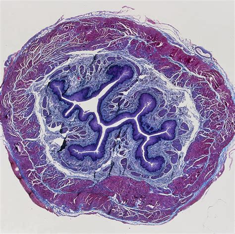 esophagus cross section lm of a cross section through the human oesophagus