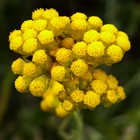 elicriso fiore helichrysum italicum essential stillpoint