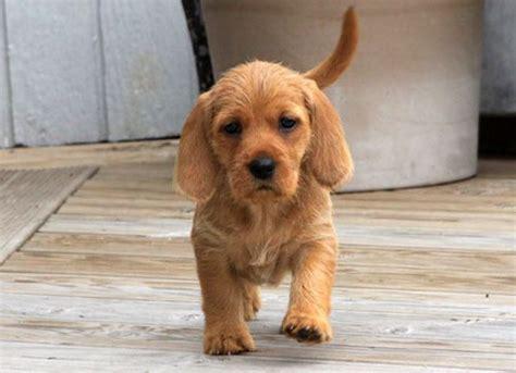 basset fauve de bretagne puppies 25 beste idee 235 n bretagne spaniel honden op bretagne spaniel pups en