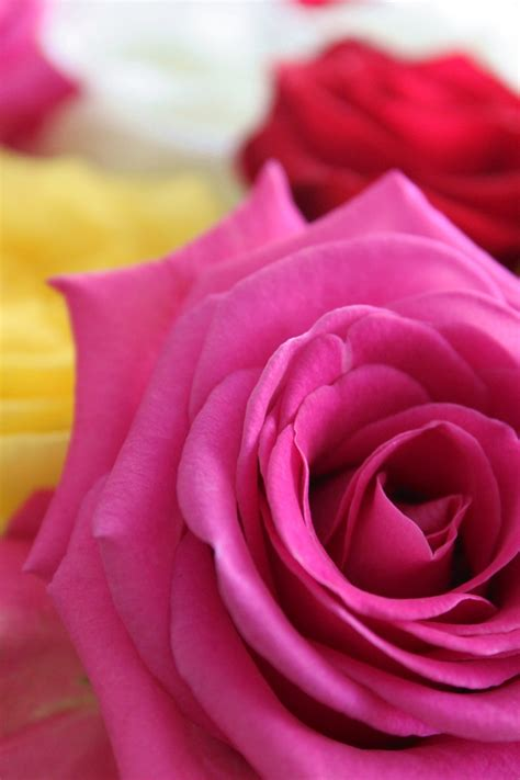 top 28 roses that smell was shakespeare wrong would a rose by any other name those early