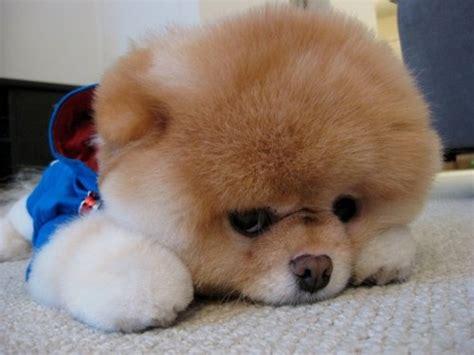 cutest pomeranian puppy in the world introducing boo the cutest pomeranian in the world we it