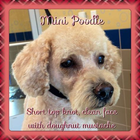 poodle top knot styles 14 best images about poodle hair styles on pinterest