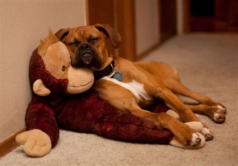 My Nap Friend Pic 17 images about boxers and other dogs on