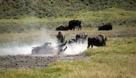 amerikanischer herd bisonherde stockbild bild gras bison fall b 252 ffel