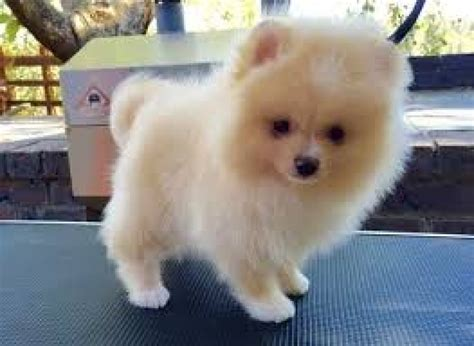 pomeranian puppies for adoption 8 pomeranian puppies for sale adoption text 6122311213 dogs