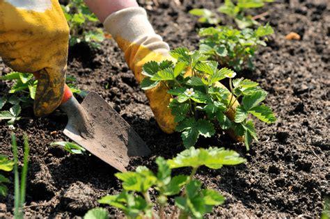 Wann Pflanze Ich Erdbeeren 4534 erdbeeren pflanzen 187 wann ist die beste zeit