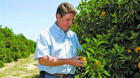 Southern Gardens Citrus by Florida Citrus Tree Rehab In Swing After The