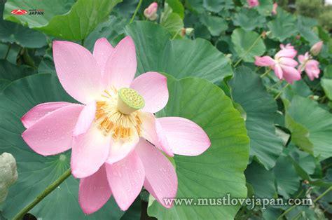 lotus flower japanese lotus flower related keywords japanese lotus