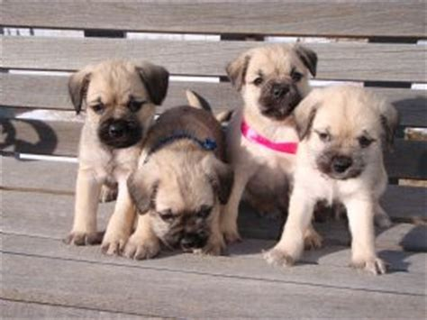 pug breeders in syracuse ny miniature schnauzer puppies in new york