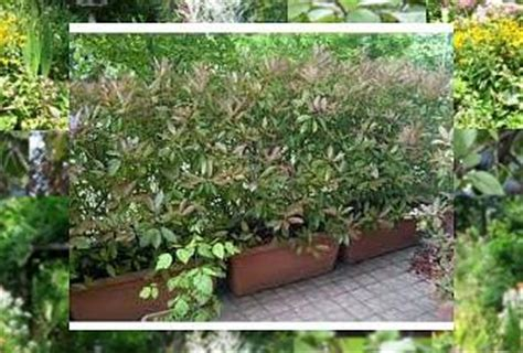 piante da siepe in vaso sempreverdi piante da siepe in vaso paperblog