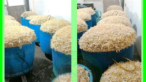 cara membuat zpt dari tauge cara membuat tauge hasil panen 8 kali lipat dengan nutrisi