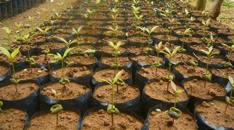 Biji Bibit Cengkeh 5 tata cara menanam cengkeh yang benar tanaman hias bunga buah dan sayur