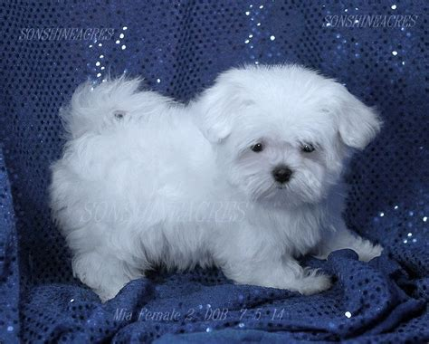 maltese puppies for sale sold mia 2 2400 sweetie doll