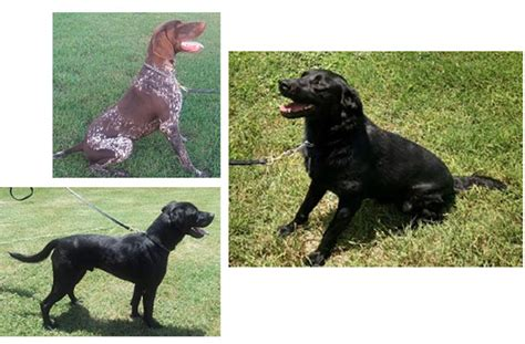 tsa adoption adopt retired tsa goldenacresdogs
