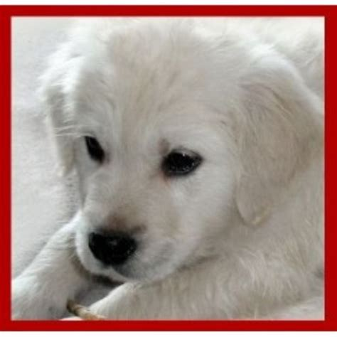 golden retriever puppies missoula montana mist goldens retrievers golden retriever breeder in missoula