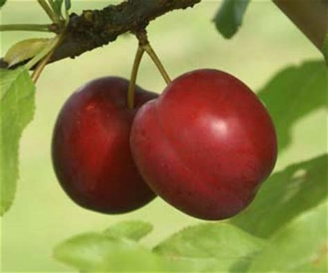 Cherry Plumb by Cherry Plum Trees For Sale Order