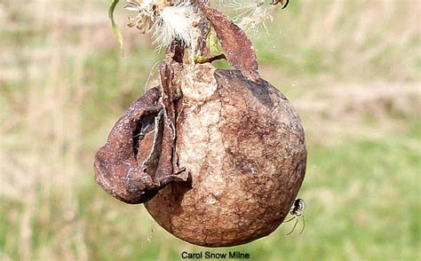 Garden Spider Egg Sac by Black And Yellow Garden Spider Egg Sac Project Noah