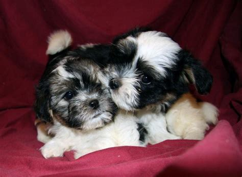 teddy puppies mn bichon frise puppies in minnesota experienced breeders of bichon frise shihtzu puppies
