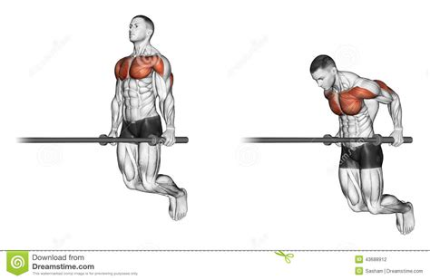 bench dips muscles worked exercising dips stock illustration image 43688912