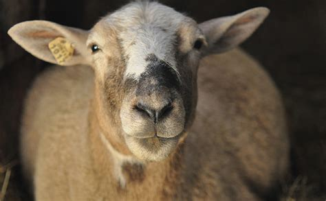lambs and l do lambs cry when being slaughtered