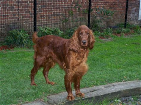 imagenes de setter ingles razas de perros