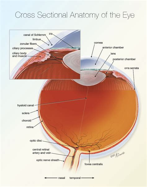 cross section of the eye michelle davis biological illustrations and jewelry