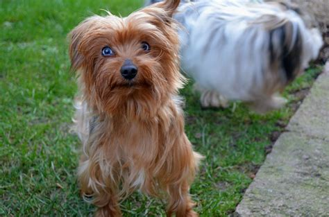 blue eyed yorkie blue eyed terrier for stud hereford herefordshire pets4homes