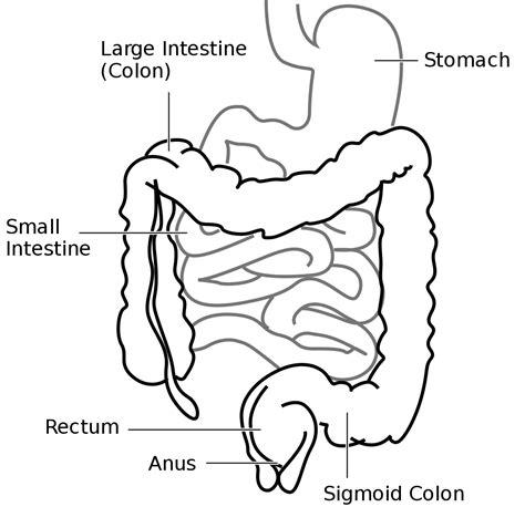 diagram of intestines file intestine diagram svg