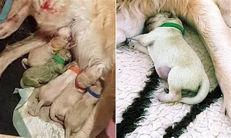 my gave birth to a dead puppy gives birth to a green puppy daily mail