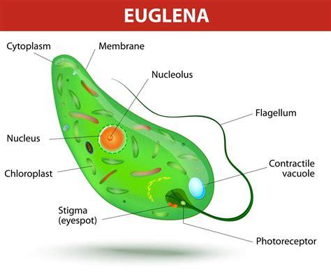 protist diagram exles of protists