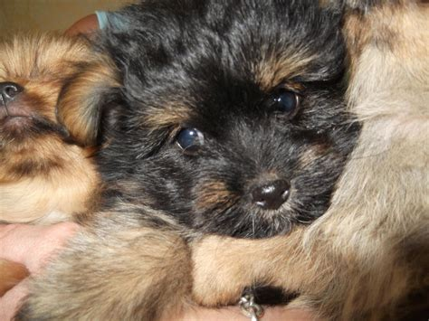 yorkie pomeranian puppies pomeranian husky mix puppies for sale memes