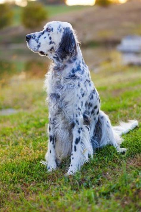english setter dog images english setter dog on the grass photo and wallpaper