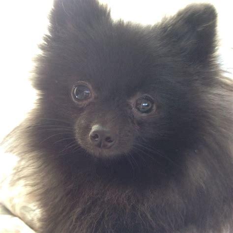 skittles pomeranian black pomeranian its skittles poodles and pomeranians pinter