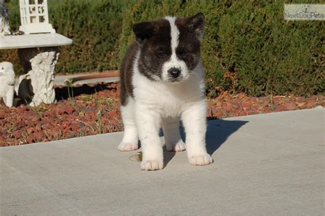 puppies for sale los angeles white akita puppies for sale los angeles ca breeds picture