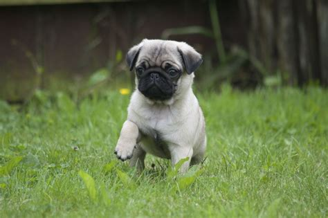 pug breeders in colorado ready now gorgeous pug puppies for sale warrington cheshire pets4homes
