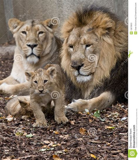 family of lion stock image image of baby young lioness